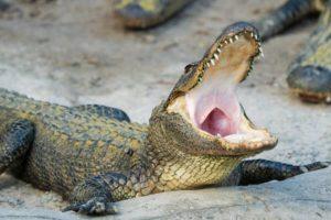 alligator-Floria
